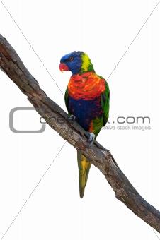 Rainbow lorikeet, australian parrot