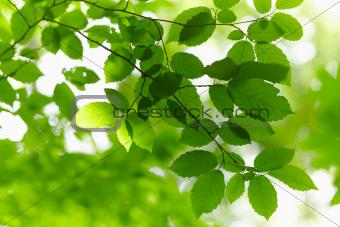 Green Branch.