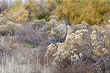 rabbitbrush and cottonwood