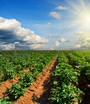 potato field on a sunset under blue sky