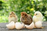 Small chicks and egg shells