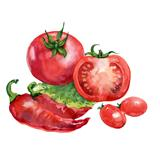 tomato. watercolor painting on white background