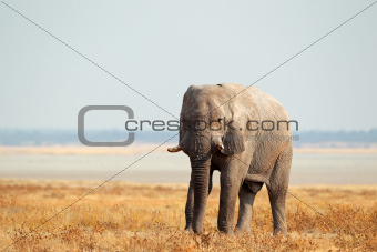 African elephant on open plains