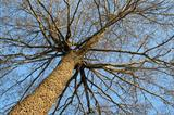 Winter tree, view from below