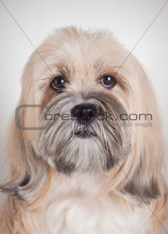 Close up portrait of lhasa apso dog