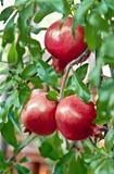 Organic Pomegranate Ripening On It's Branch