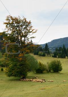 Sheep on Green Field