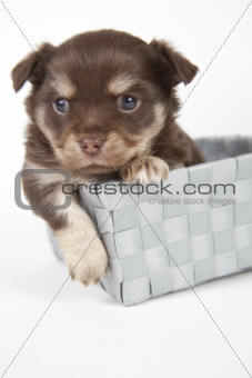 chihuahua pup playful on blue background