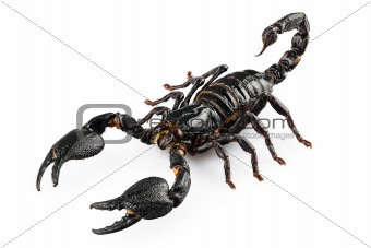 Black scorpio species Heterometrus cyaneus