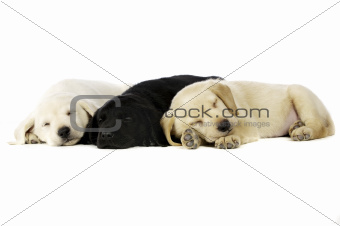Golden and black Labrador Puppies