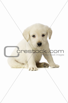 Golden Labrador Puppy