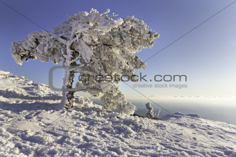 Pine under the snow in mountains