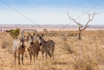 Zebras looking to the camera