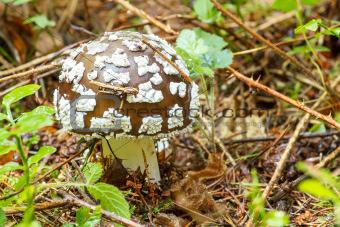 agaric poisonous mushroom