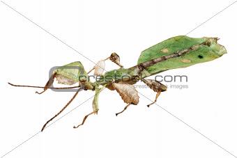 Leaf insect species Phyllium bioculatum male