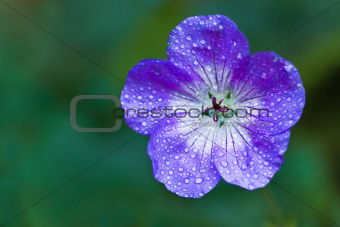 Blue Geranium or Cranesbill flower in the rain