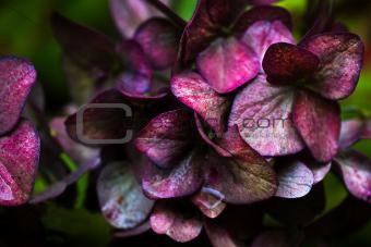 Metallic shine on discolored Hortensia flowers