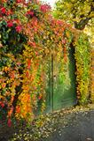 Colorful Virginian creeper growing over a wall in fall