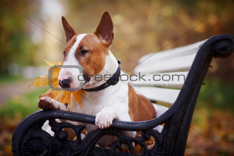 The red bull terrier lies on a bench