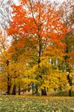 Maple tree in park in autumn 