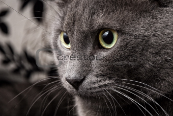 portrait of russian blue cat