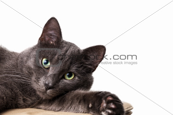 lying russian blue cat