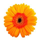 Single orange gerbera flower