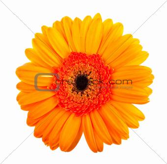 Single orange gerbera flower