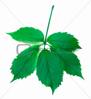 Green virginia creeper leaves