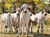 Young Brahman herd on ranch Australian beef cattle