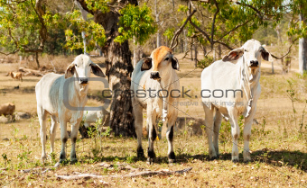 Three cows beef cattle on farm