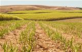 Australian agriculture farm industry sugar cane crop growing