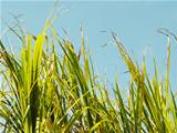Grass sugar cane tops against blue sky