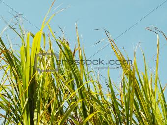 Grass sugar cane tops against blue sky