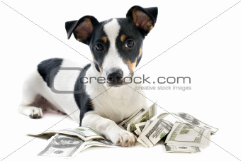 jack russel terrier with dollars