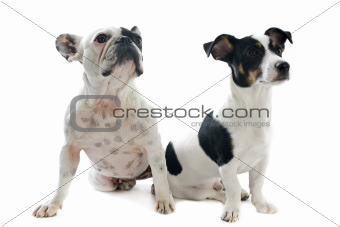 french bulldog and jack russel terrier