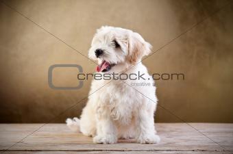 Small fluffy dog sitting