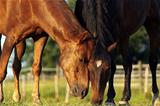 Grazing horses