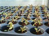 Amaranthus seedlings in pods