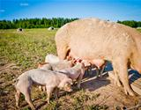 Piglets feeding