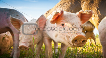 Two piglets on a field