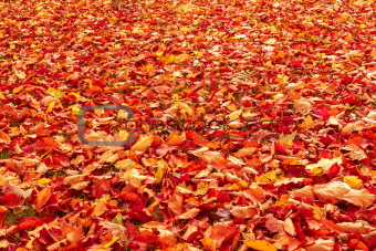 Fall orange and red autumn leaves on ground