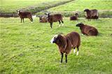 brown sheep in meadow