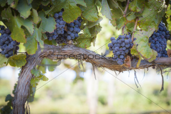 Vineyard with Lush, Ripe Wine Grapes on the Vine Ready for Harvest.