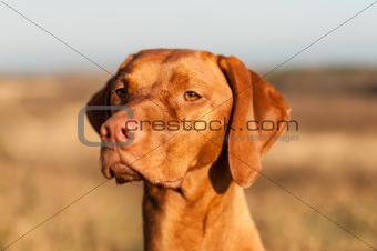 Closeup of a Staring Vizsla Dog