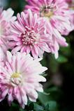 pink flowers of chrysanthemum