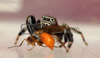 Evarcha arcuata jumping spider