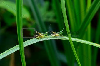 adult grasshopper