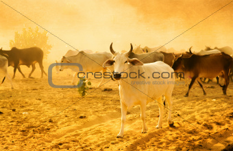 Herd cattle
