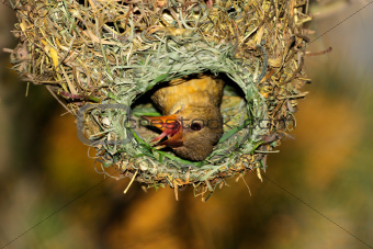 Cape weaver in nest